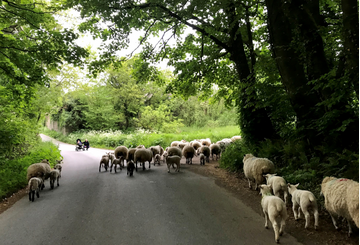 Sheep in Devon lane