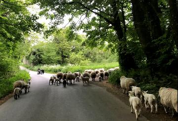 Sheep in Devon lane